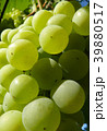 Close Up of Ripe Golden Grape Cluster on Vine 39880517