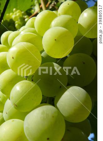 Close Up of Ripe Golden Grape Cluster on Vine 39880517