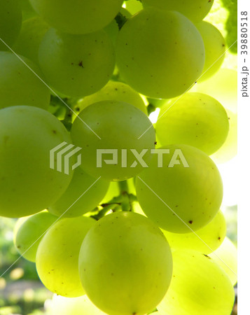Close Up Macro of Ripe Grape Cluster on Vine 39880518