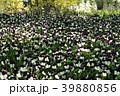 パンジー 三色菫 花の写真 39880856