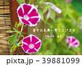 暑中見舞い素材 (朝顔) 39881099