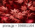 紅葉 モミジ 楓の写真 39881164