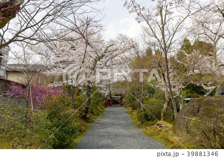 常照寺と桜 39881346