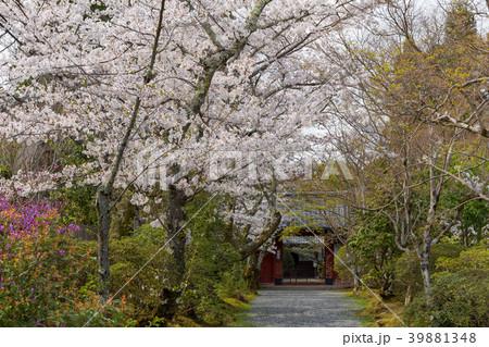 常照寺と桜 39881348