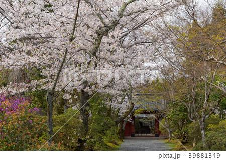 常照寺と桜 39881349