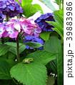 紫陽花に雨蛙 39883986