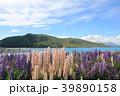 テカポ湖 ルピナス 花畑の写真 39890158