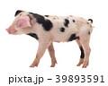 ぶた ブタ 豚の写真 39893591