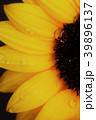 向日葵 花 植物の写真 39896137