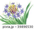 シラーペルビアナ18420pix7 39896530