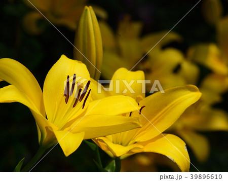 黄色いユリ 39896610