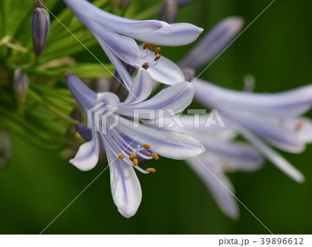 アガパンサスの咲く季節 39896612