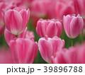 花 チューリップ ユリ科の写真 39896788
