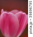 花 チューリップ 植物の写真 39896795