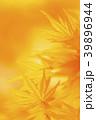 黄葉 モミジ 楓の写真 39896944
