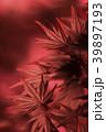 紅葉 モミジ 楓の写真 39897193