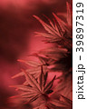 紅葉 モミジ 楓の写真 39897319