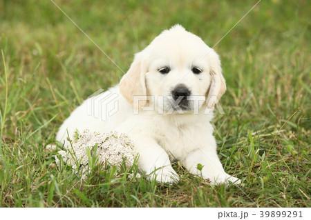 nice golden retriever puppyの写真素材 39899291 pixta