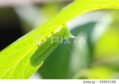 軟らかいアジサイの葉を食べる青虫 39903186