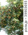 トベラ 果実 実の写真 39903693