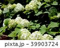 オオデマリ ジャパニーズ・スノーボール 白色の写真 39903724