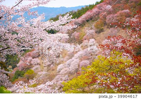 吉野山桜 39904617