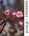 梅の花 39906699