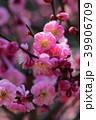 梅の花 39906709
