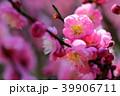 梅の花 39906711
