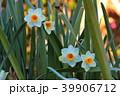 早春の水仙 39906712
