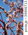 梅の花 39906713