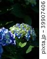 紫陽花 アジサイ 花の写真 39907406