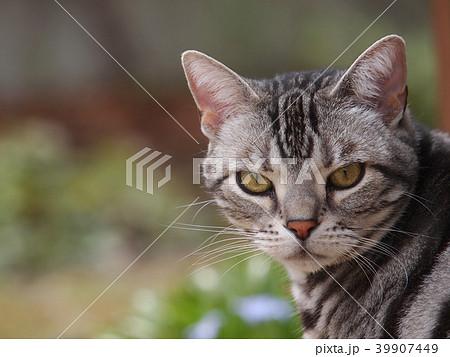 カメラ目線の猫 39907449