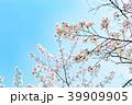 桜 39909905