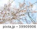 桜 39909906