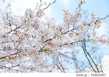 桜 39909907