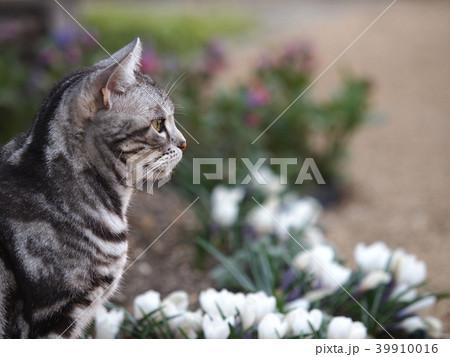 お花畑の猫 横向きアップ 39910016