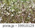 ミチタネツケバナ 39910129
