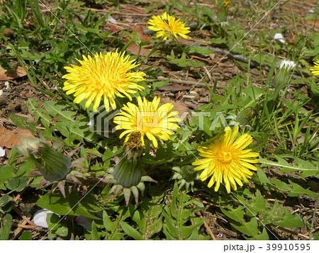 綺麗な黄色い花はタンポポの花 39910595
