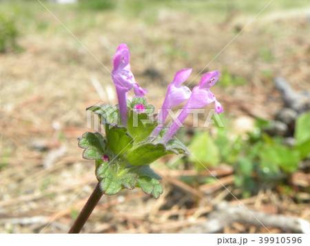春の初めに咲き始める紫の小さい花はホトケノザ 39910596