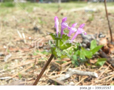 春の初めに咲き始める紫の小さい花はホトケノザ 39910597