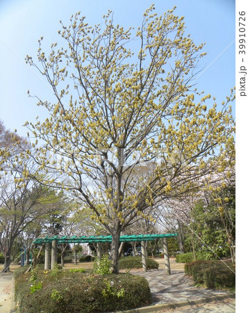 ひも状の花を沢山付けたコナラの大木 39910726