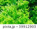 新緑 植物 葉の写真 39912903
