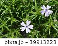 芝桜 花 ハナシノブ科の写真 39913223