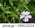 芝桜 花 ハナシノブ科の写真 39913224