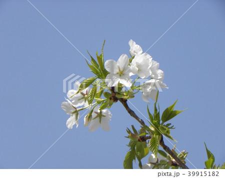 葉っぱが先に出るヤマザクラの白い花 39915182