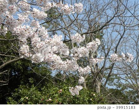 オオシマザクラの白い花 39915183