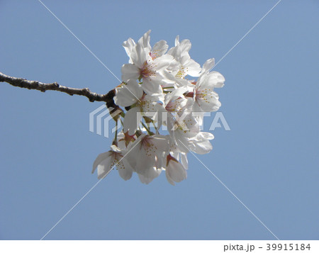 オオシマザクラの白い花 39915184