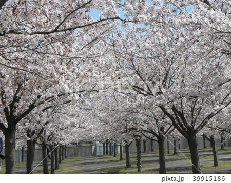 ソメイヨシノの薄桃色のサクラの花 39915186