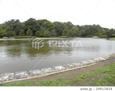 稲毛海浜公園の池のユリカモメ 39915839